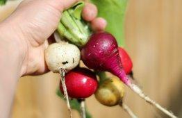 warzywa-rzepowate
